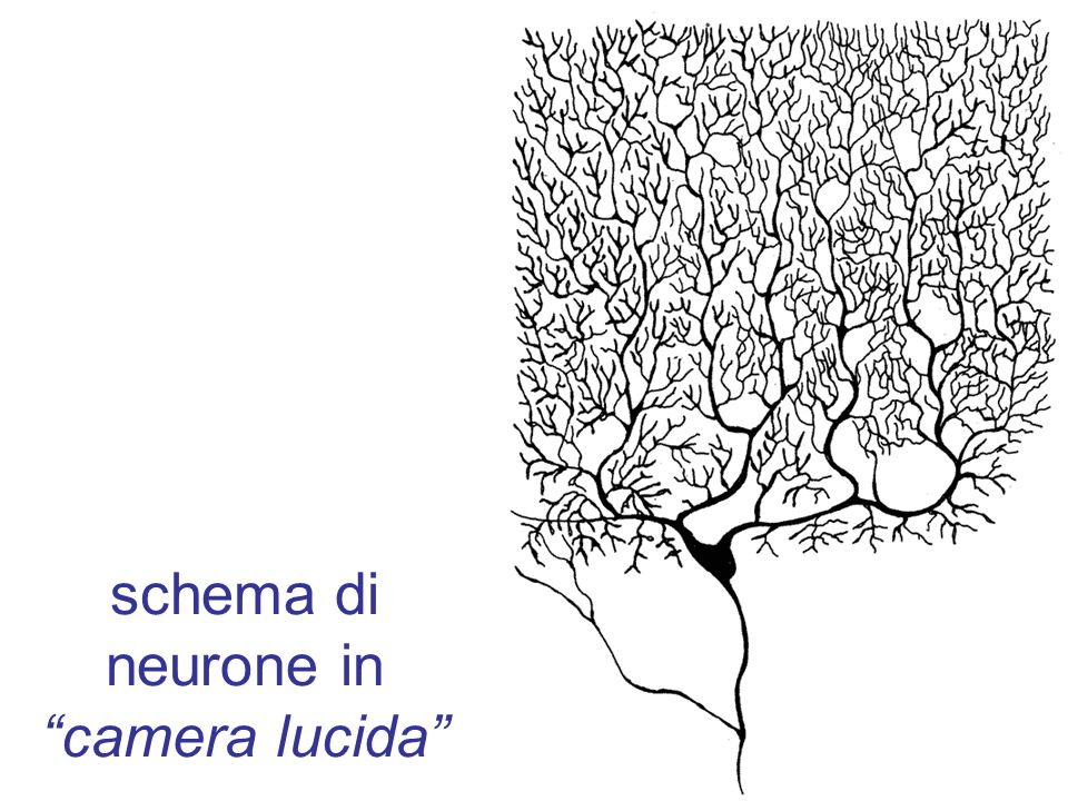 schema di neurone in camera lucida