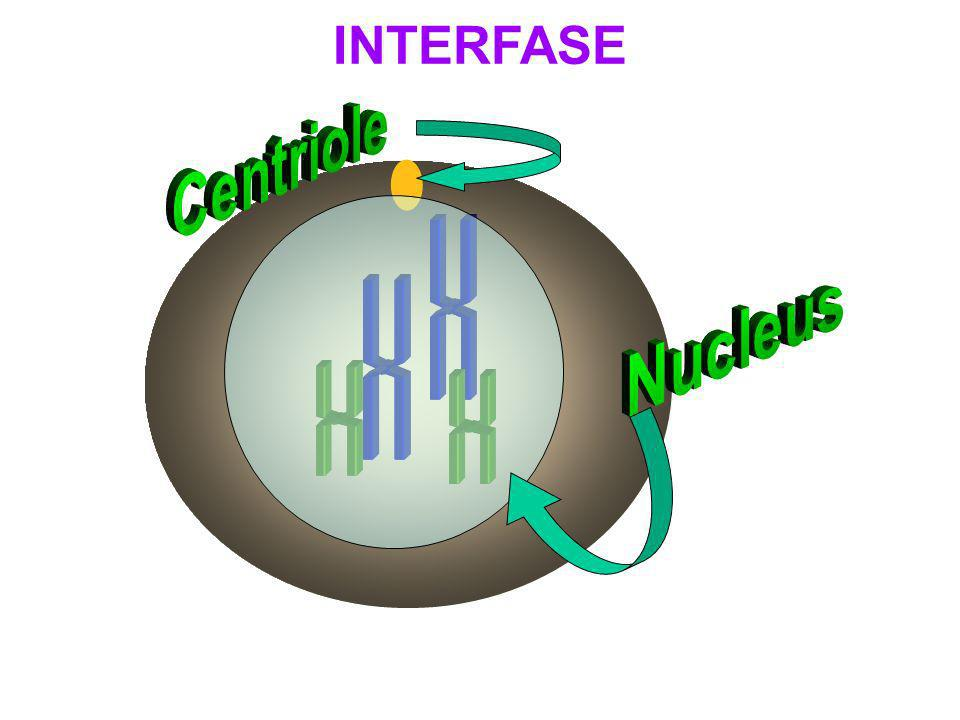 INTERFASE Centriole Nucleus