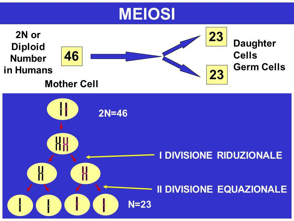 MEIOSI 23 46 23 2N or Diploid Number Daughter Cells in Humans
