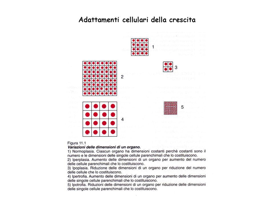 Adattamenti cellulari della crescita