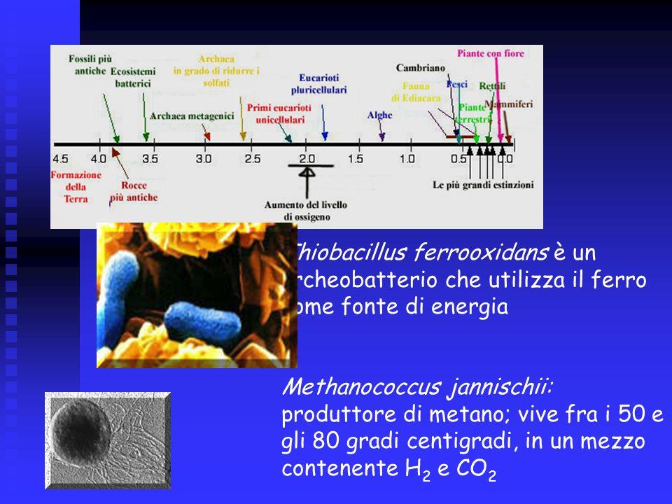 Thiobacillus ferrooxidans è un archeobatterio che utilizza il ferro come fonte di energia