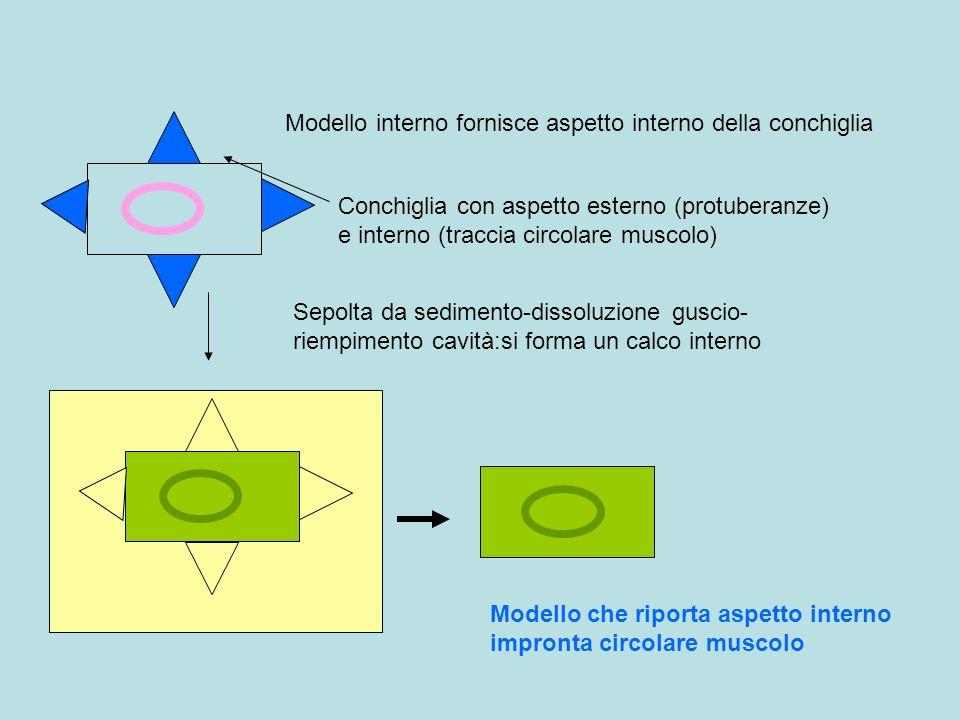 Modello interno fornisce aspetto interno della conchiglia