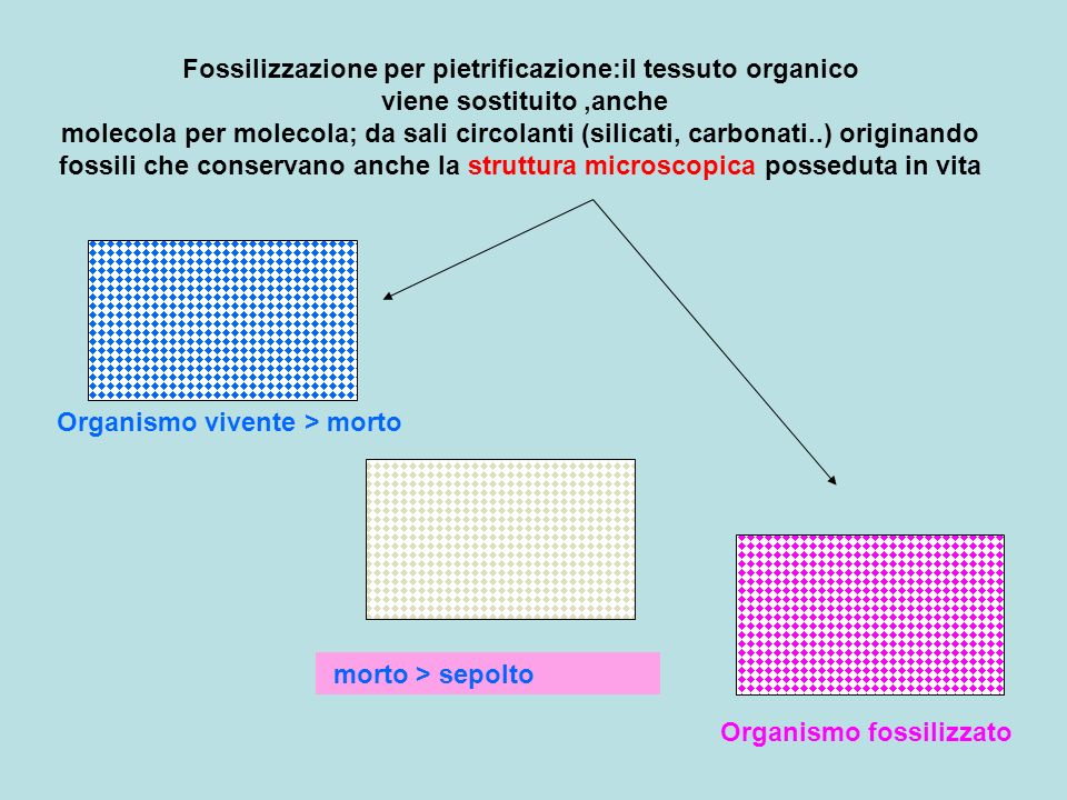 Fossilizzazione per pietrificazione:il tessuto organico viene sostituito ,anche molecola per molecola; da sali circolanti (silicati, carbonati..) originando fossili che conservano anche la struttura microscopica posseduta in vita