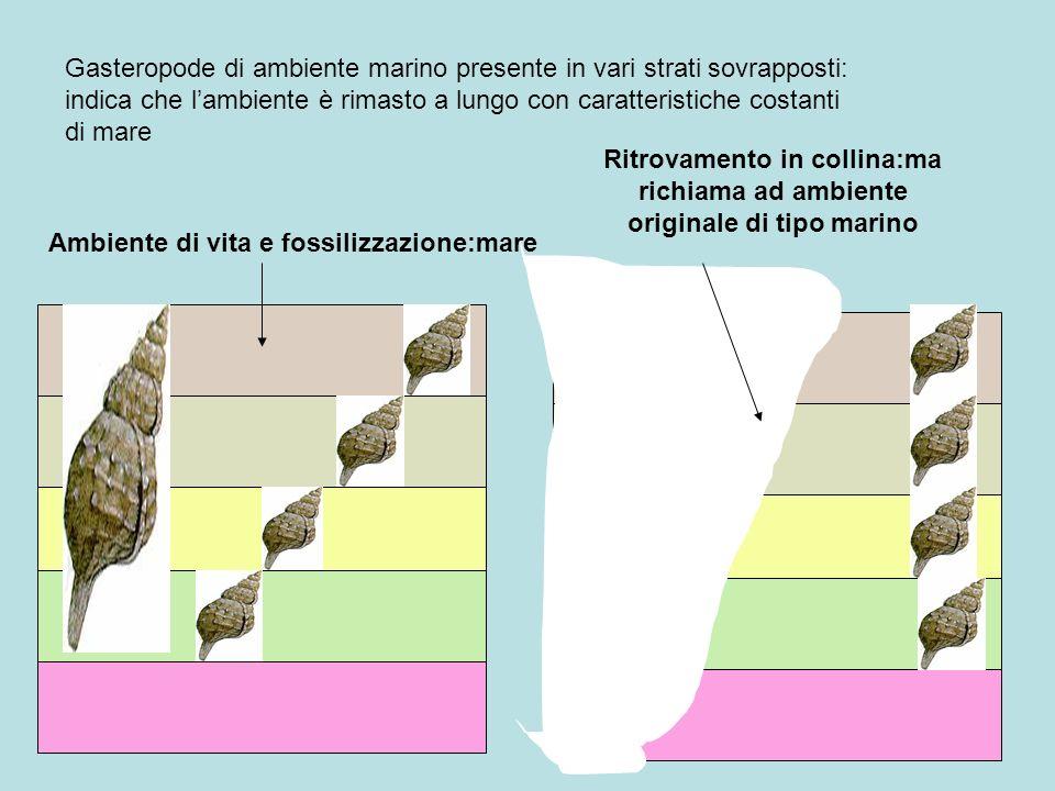 Gasteropode di ambiente marino presente in vari strati sovrapposti: indica che l'ambiente è rimasto a lungo con caratteristiche costanti di mare