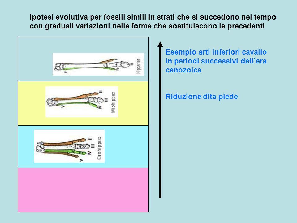 Ipotesi evolutiva per fossili simili in strati che si succedono nel tempo con graduali variazioni nelle forme che sostituiscono le precedenti