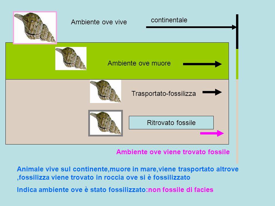 continentaleAmbiente ove vive. Ambiente ove muore. Trasportato-fossilizza. Ritrovato fossile. Ambiente ove viene trovato fossile.