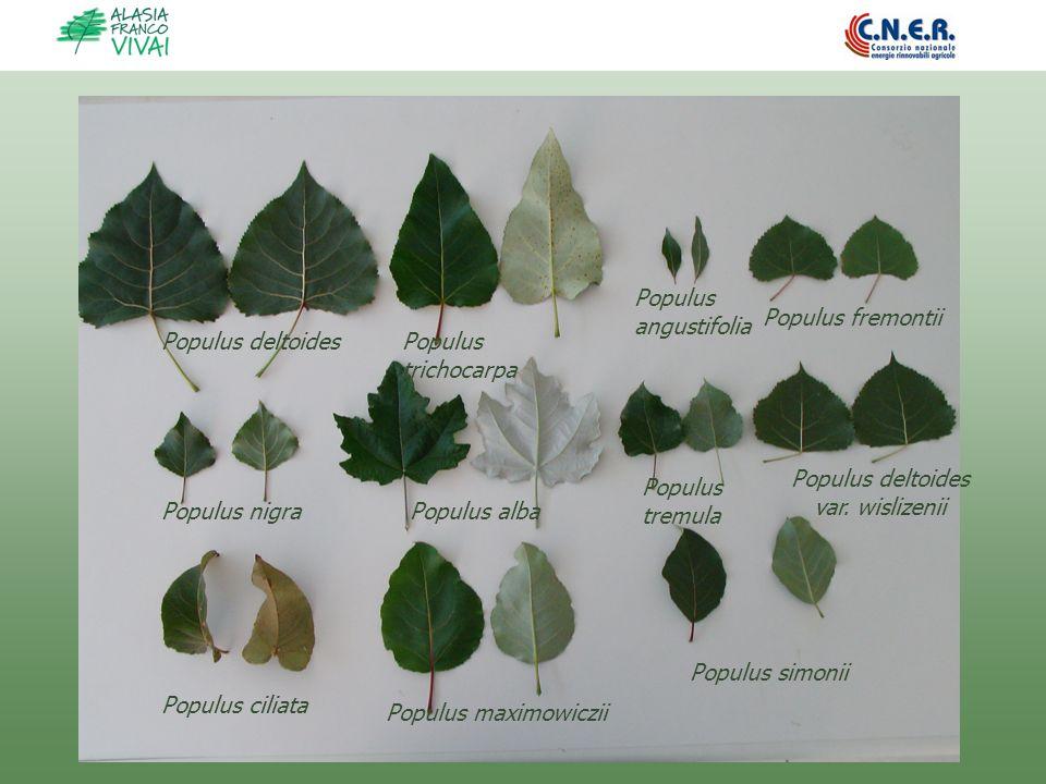Populus deltoides var. wislizenii