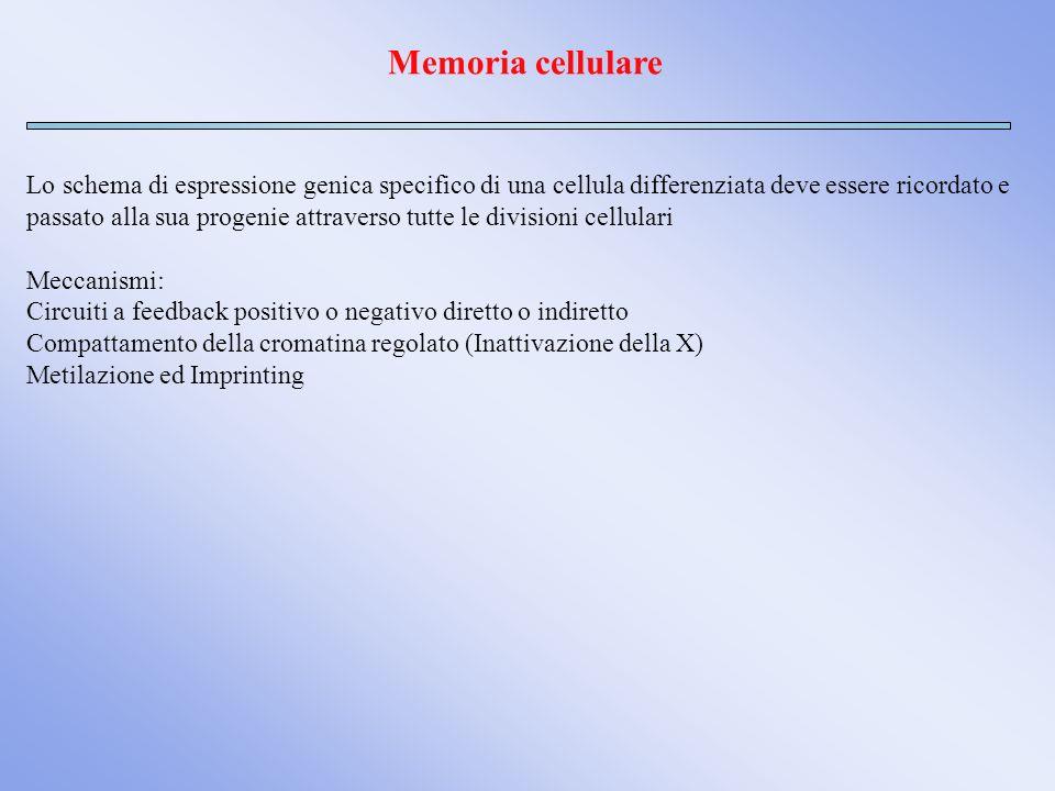 Memoria cellulare Lo schema di espressione genica specifico di una cellula differenziata deve essere ricordato e.