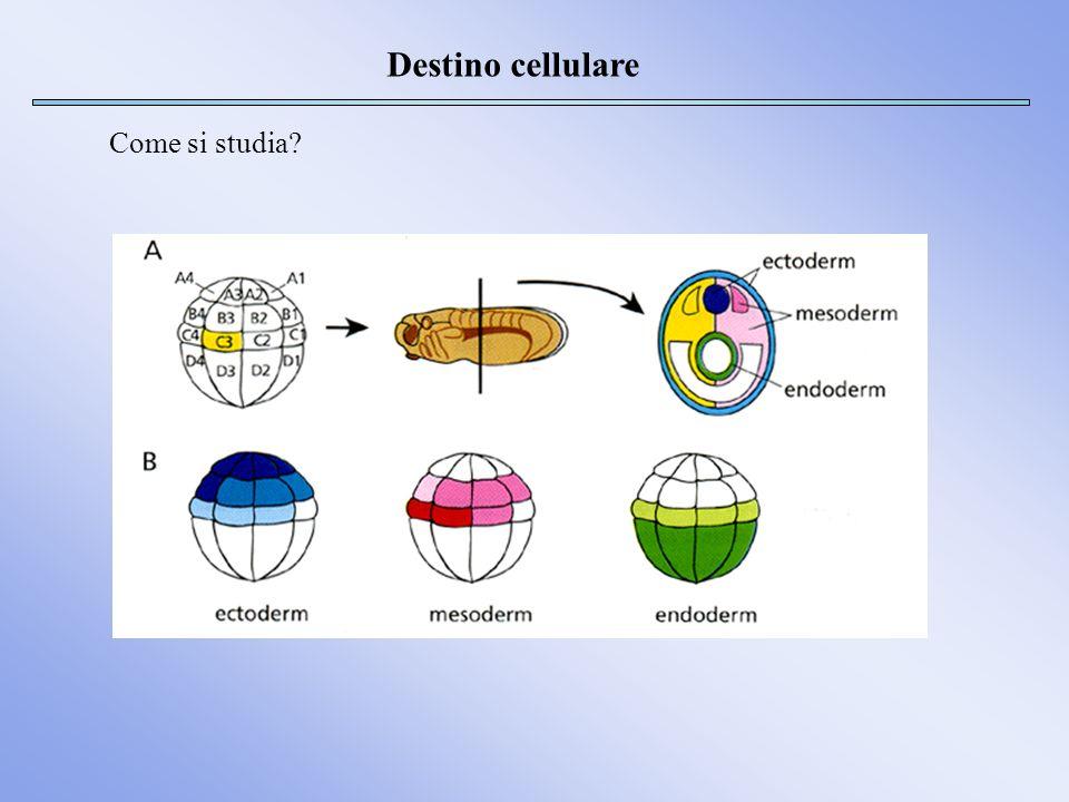 Destino cellulare Come si studia