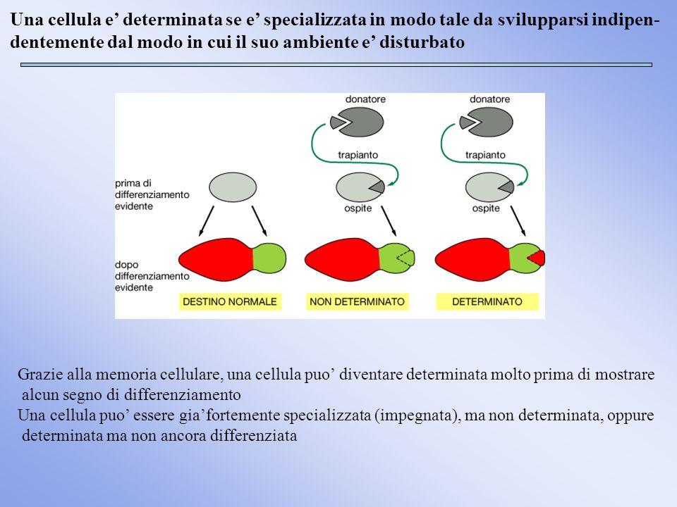 Una cellula e' determinata se e' specializzata in modo tale da svilupparsi indipen- dentemente dal modo in cui il suo ambiente e' disturbato