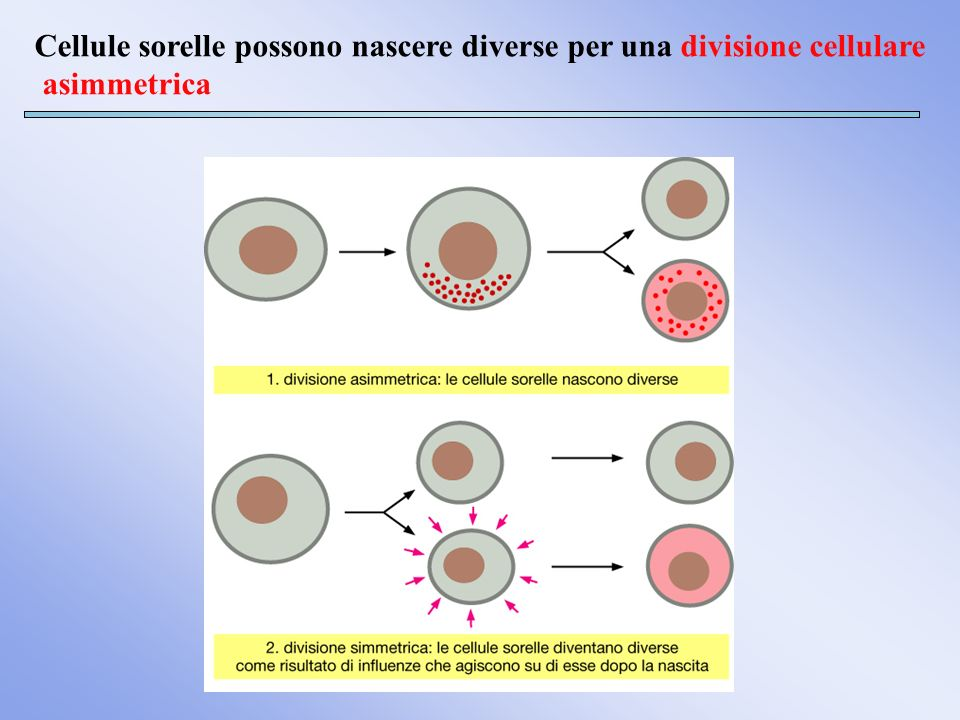 Cellule sorelle possono nascere diverse per una divisione cellulare