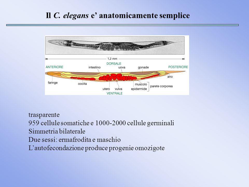Il C. elegans e' anatomicamente semplice
