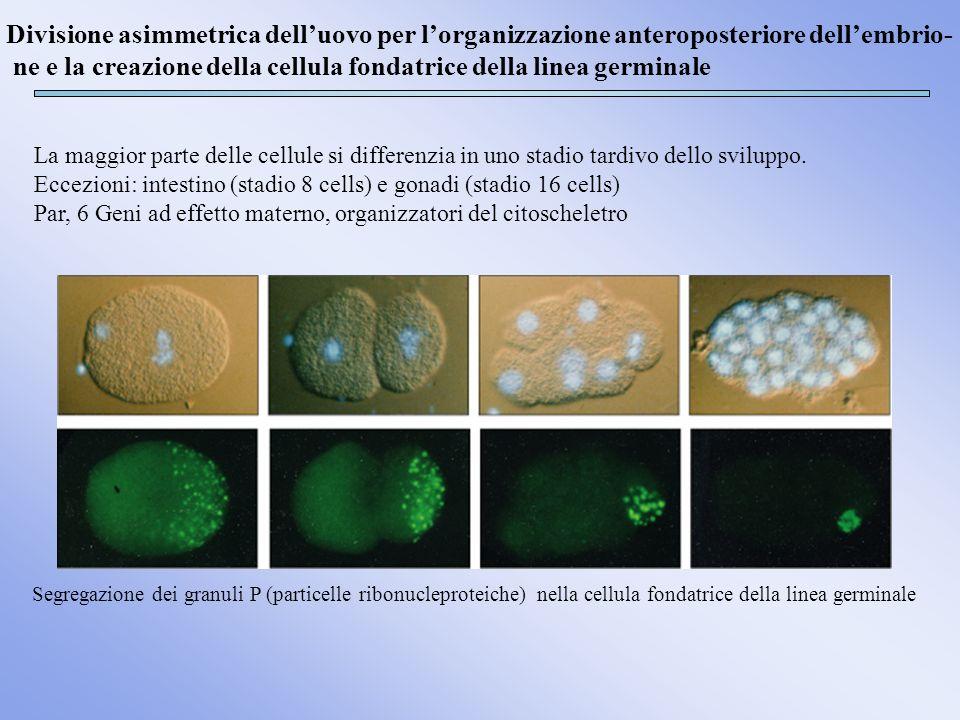 ne e la creazione della cellula fondatrice della linea germinale
