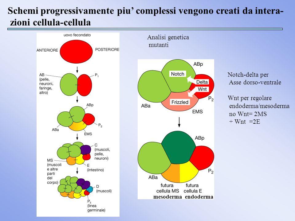 Schemi progressivamente piu' complessi vengono creati da intera-