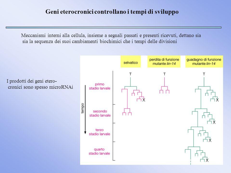 Geni eterocronici controllano i tempi di sviluppo