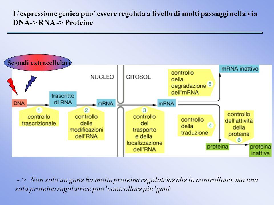 L'espressione genica puo' essere regolata a livello di molti passaggi nella via DNA-> RNA -> Proteine