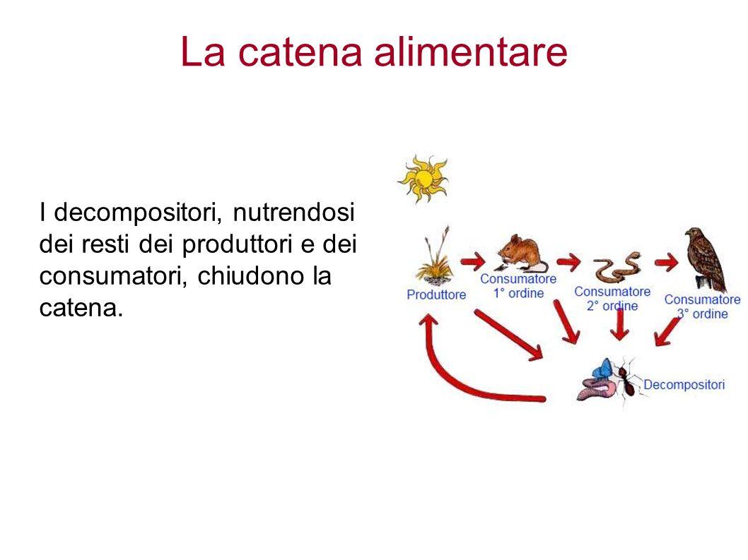 La catena alimentare I decompositori, nutrendosi dei resti dei produttori e dei consumatori, chiudono la catena.