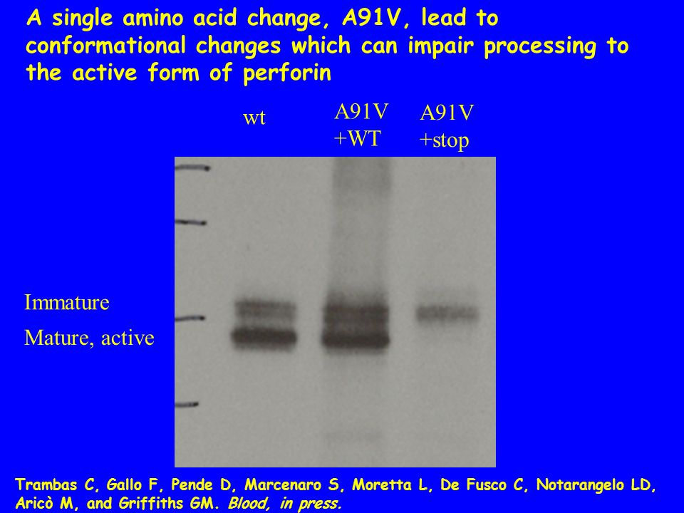 A single amino acid change, A91V, lead to conformational changes which can impair processing to the active form of perforin