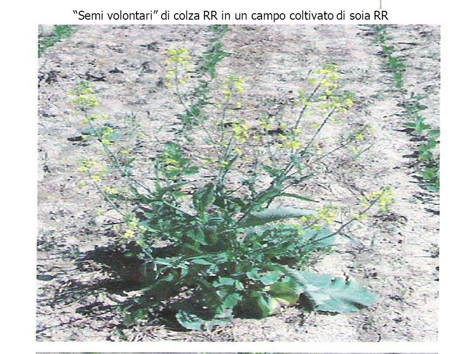 Semi volontari di colza RR in un campo coltivato di soia RR