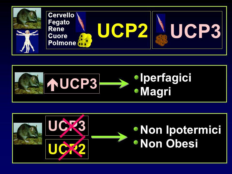 UCP2 UCP3 UCP3 UCP3 UCP2 Iperfagici Magri Non Ipotermici Non Obesi