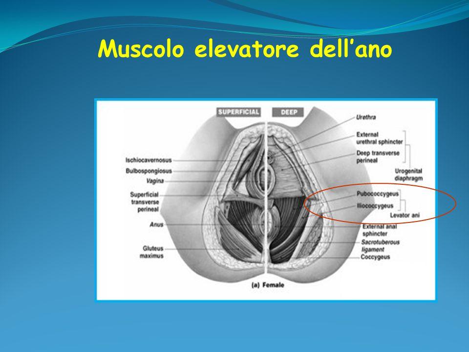 Muscolo elevatore dell'ano
