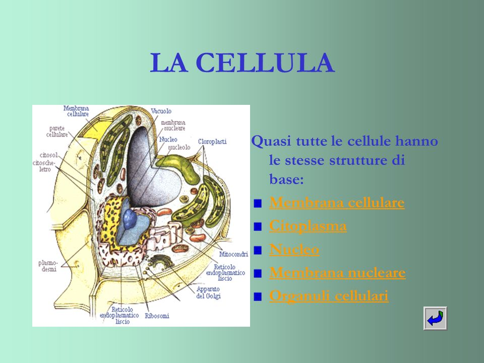LA CELLULA Quasi tutte le cellule hanno le stesse strutture di base: