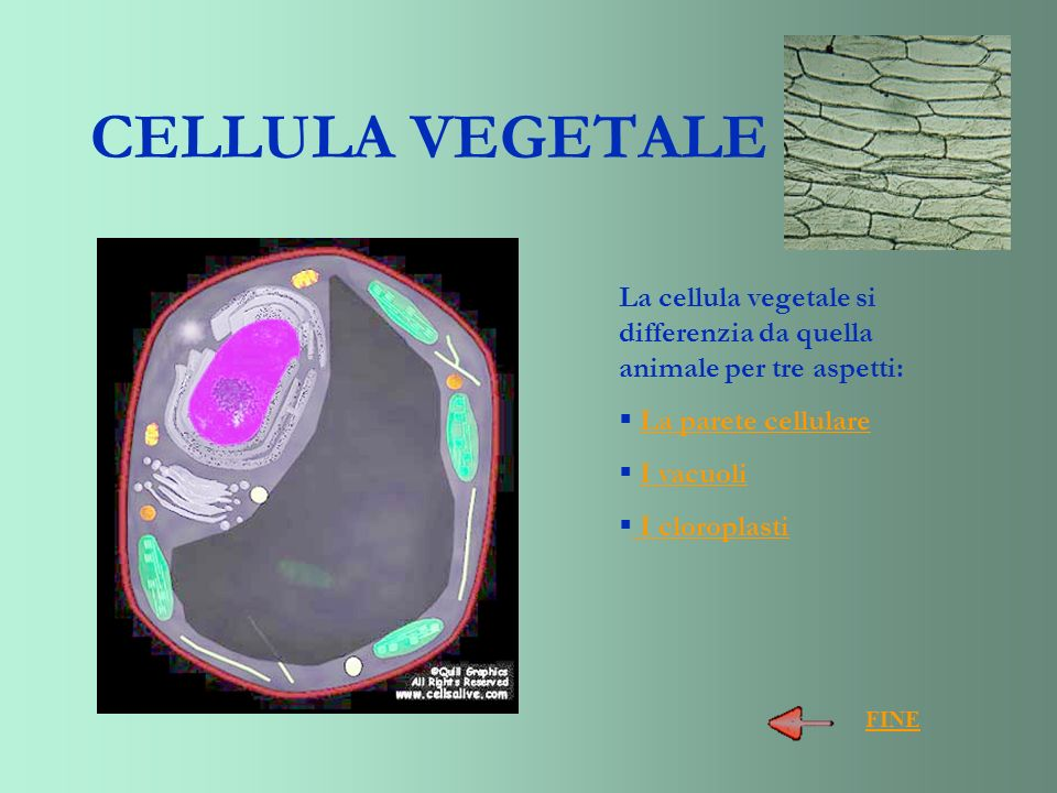 CELLULA VEGETALE La cellula vegetale si differenzia da quella animale per tre aspetti: La parete cellulare.
