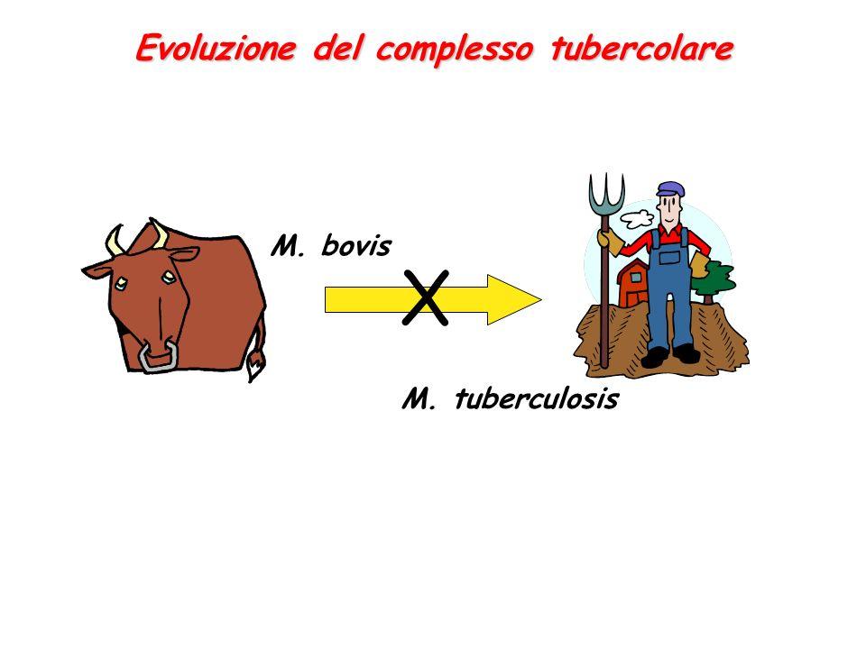 Evoluzione del complesso tubercolare