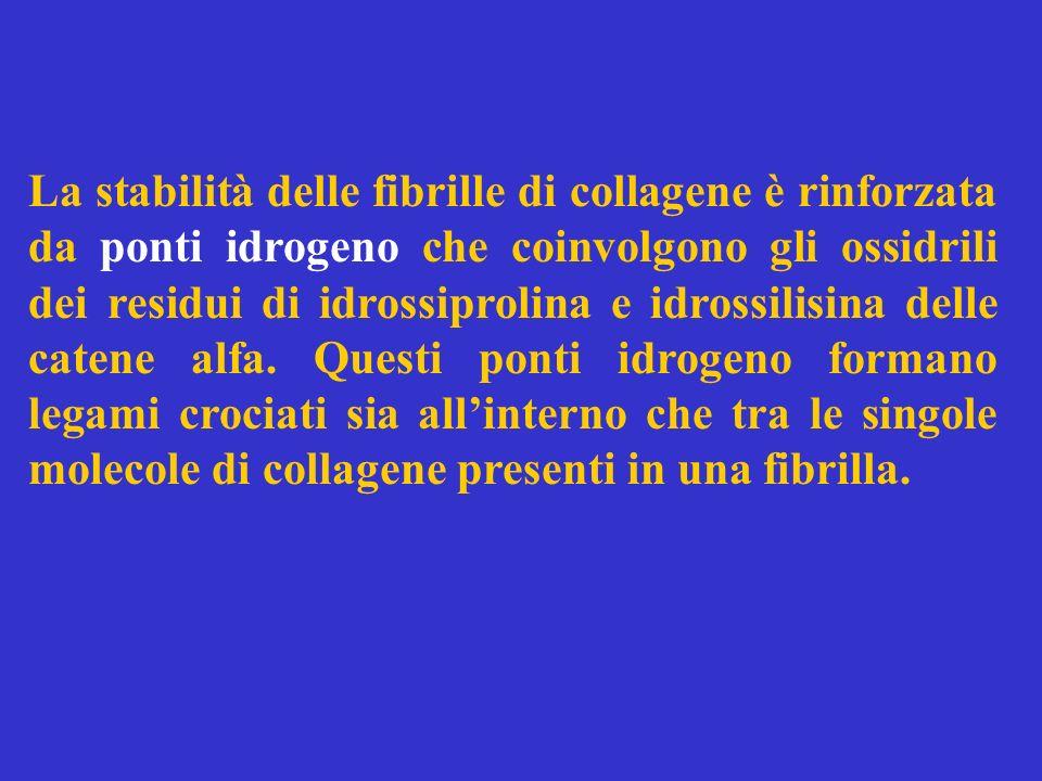 La stabilità delle fibrille di collagene è rinforzata da ponti idrogeno che coinvolgono gli ossidrili dei residui di idrossiprolina e idrossilisina delle catene alfa.