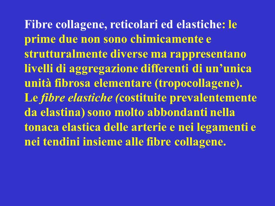Fibre collagene, reticolari ed elastiche: le prime due non sono chimicamente e strutturalmente diverse ma rappresentano livelli di aggregazione differenti di un'unica unità fibrosa elementare (tropocollagene).