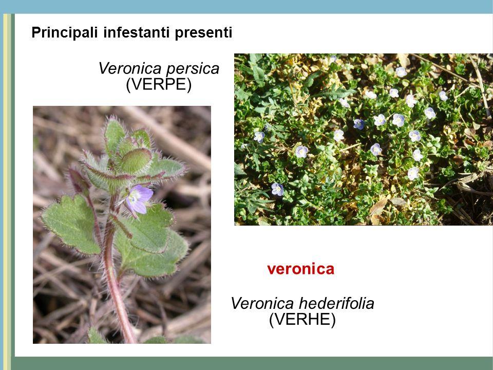 Veronica persica (VERPE) veronica Veronica hederifolia (VERHE)