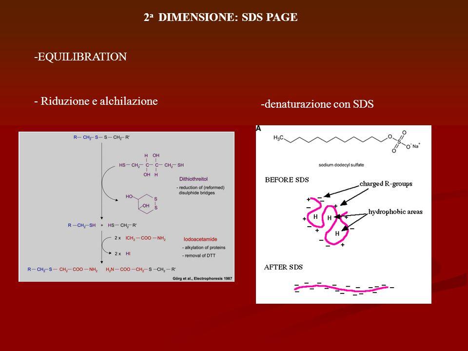 2a DIMENSIONE: SDS PAGE -EQUILIBRATION - Riduzione e alchilazione -denaturazione con SDS