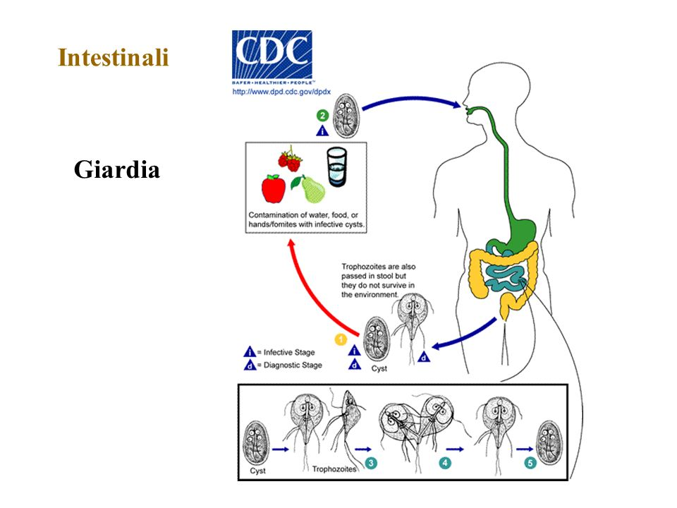 Intestinali Giardia Giardia