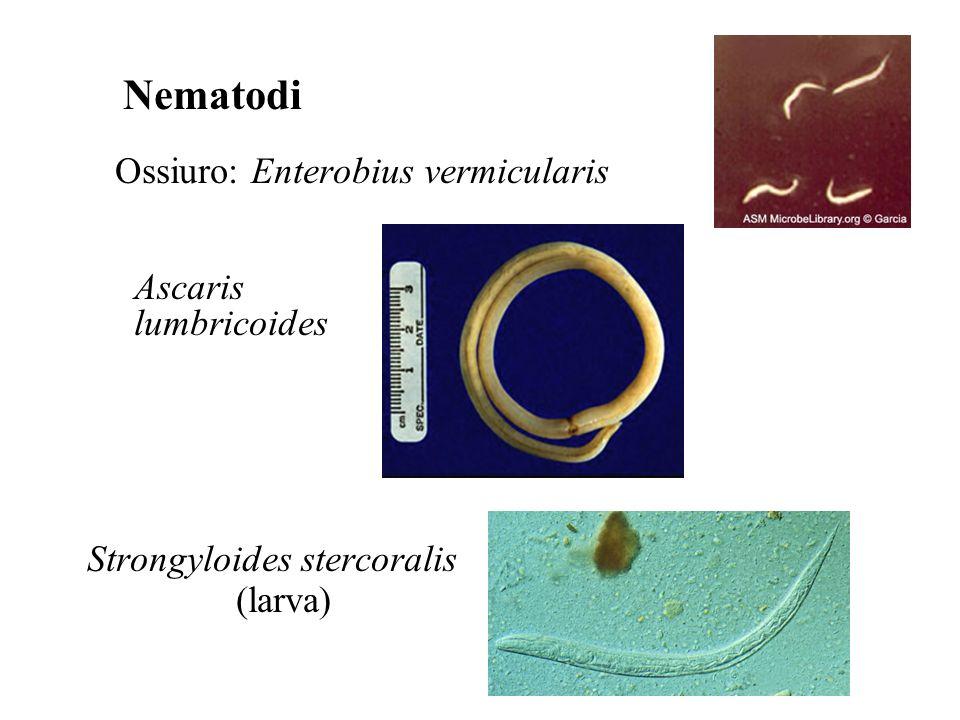 Nematodi Ossiuro: Enterobius vermicularis Ascaris lumbricoides