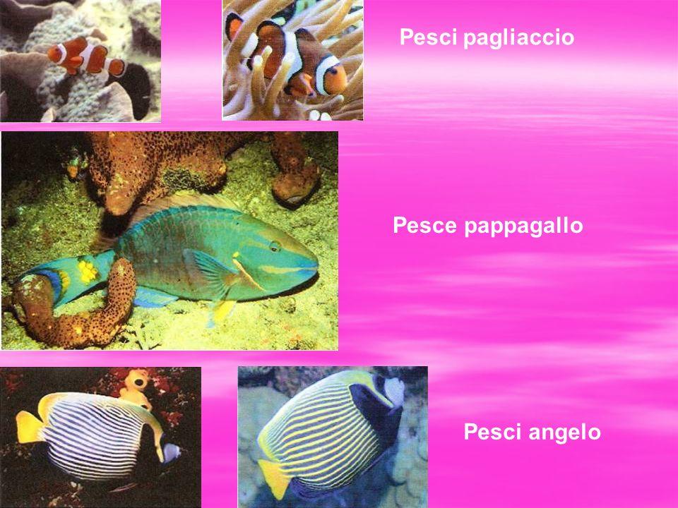 Pesci pagliaccio Pesce pappagallo Pesci angelo