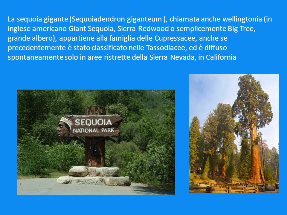La sequoia gigante (Sequoiadendron giganteum ), chiamata anche wellingtonia (in inglese americano Giant Sequoia, Sierra Redwood o semplicemente Big Tree, grande albero), appartiene alla famiglia delle Cupressacee, anche se precedentemente è stato classificato nelle Tassodiacee, ed è diffuso spontaneamente solo in aree ristrette della Sierra Nevada, in California