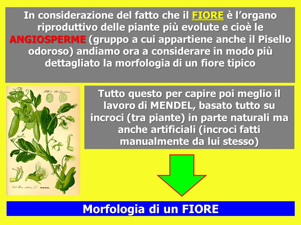 In considerazione del fatto che il FIORE è l'organo riproduttivo delle piante più evolute e cioè le ANGIOSPERME (gruppo a cui appartiene anche il Pisello odoroso) andiamo ora a considerare in modo più dettagliato la morfologia di un fiore tipico