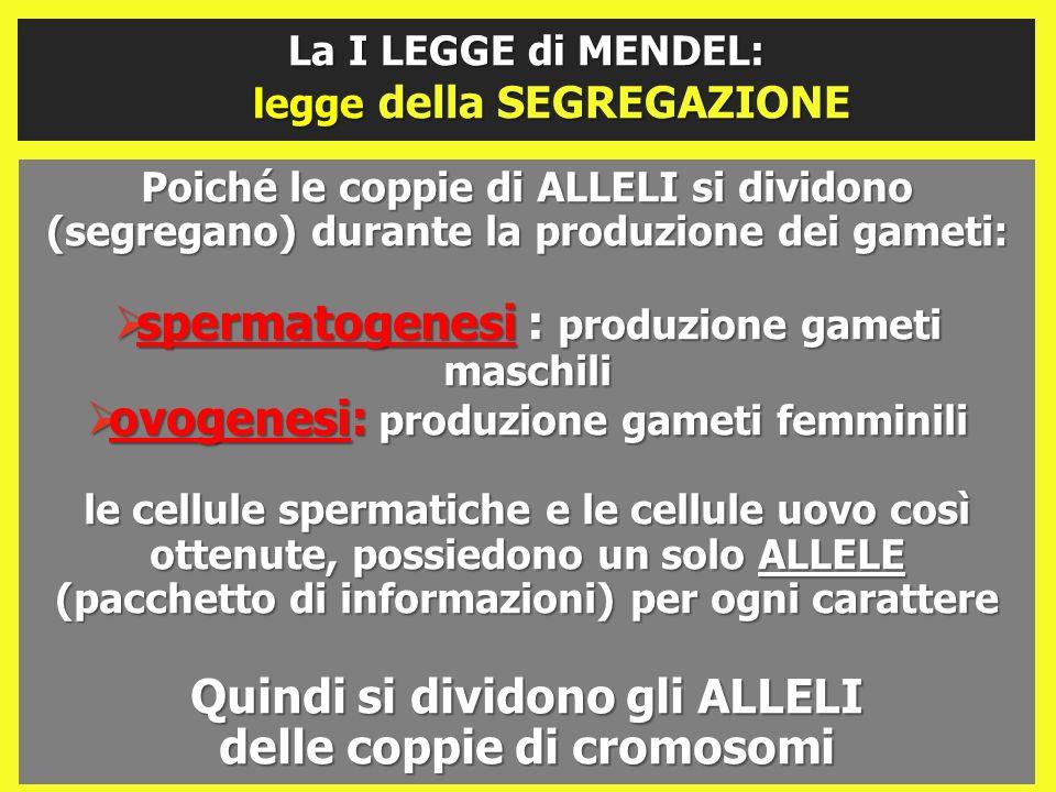 spermatogenesi : produzione gameti maschili