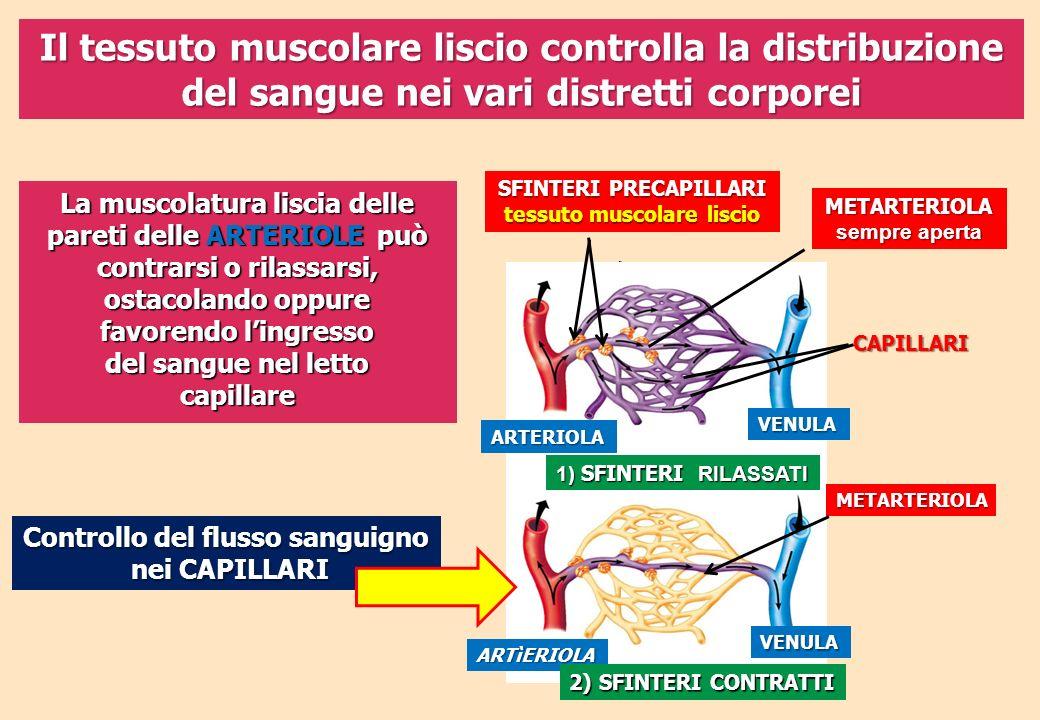 Il tessuto muscolare liscio controlla la distribuzione del sangue nei vari distretti corporei