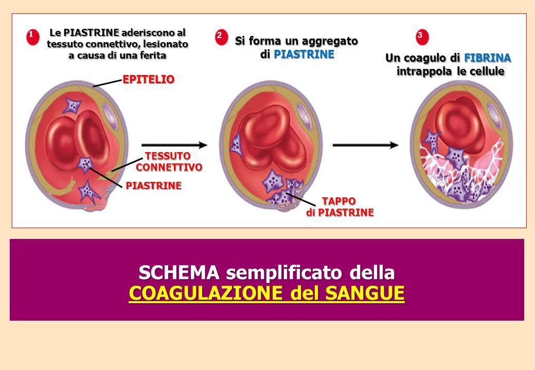 Le PIASTRINE aderiscono al tessuto connettivo, lesionato