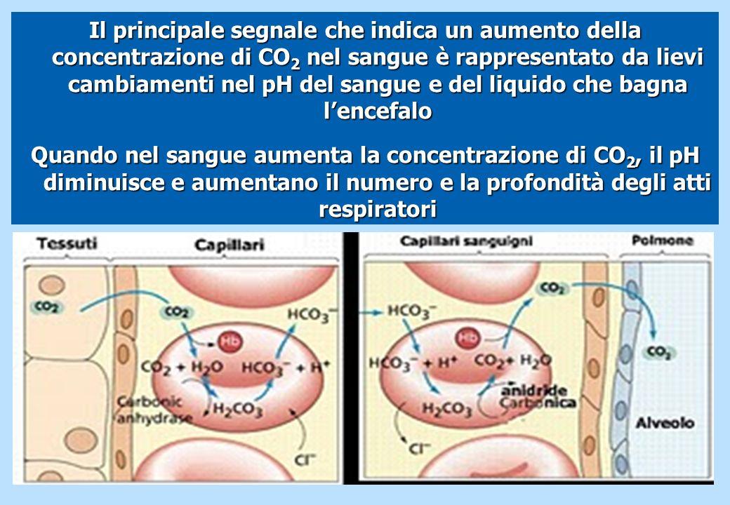 Il principale segnale che indica un aumento della concentrazione di CO2 nel sangue è rappresentato da lievi cambiamenti nel pH del sangue e del liquido che bagna l'encefalo