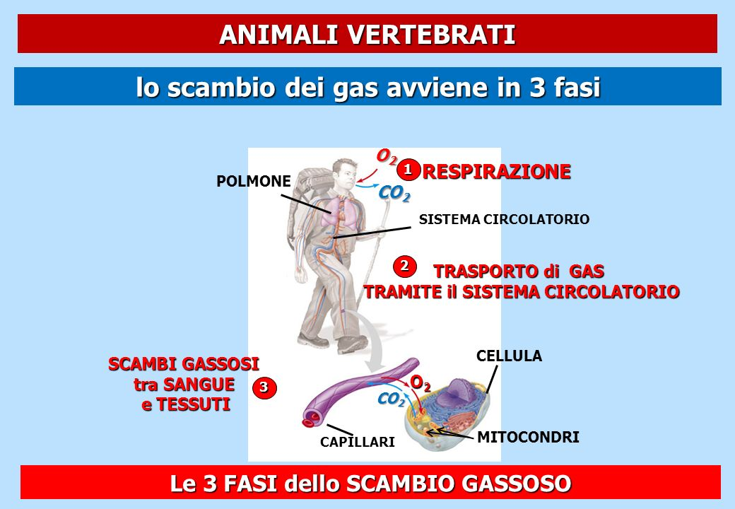 lo scambio dei gas avviene in 3 fasi