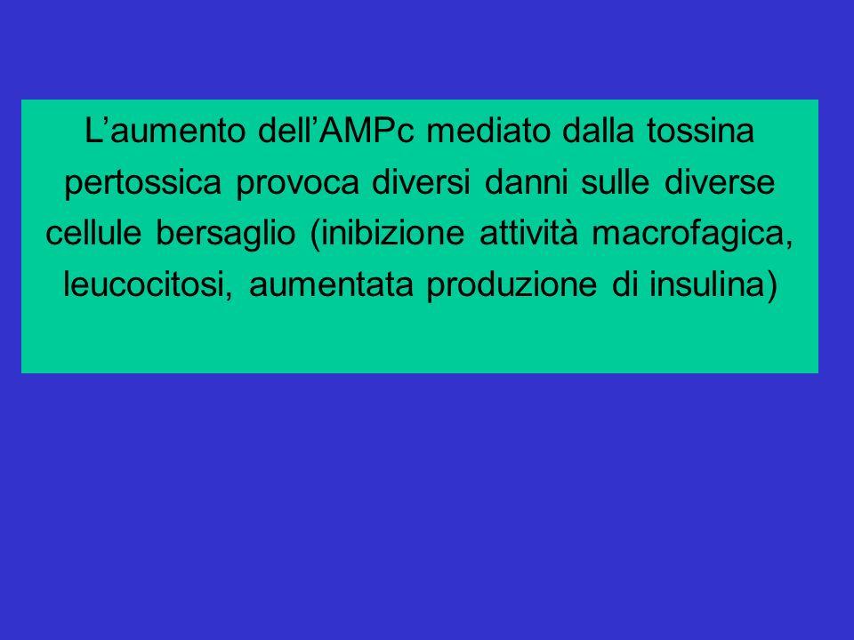 L'aumento dell'AMPc mediato dalla tossina pertossica provoca diversi danni sulle diverse cellule bersaglio (inibizione attività macrofagica, leucocitosi, aumentata produzione di insulina)