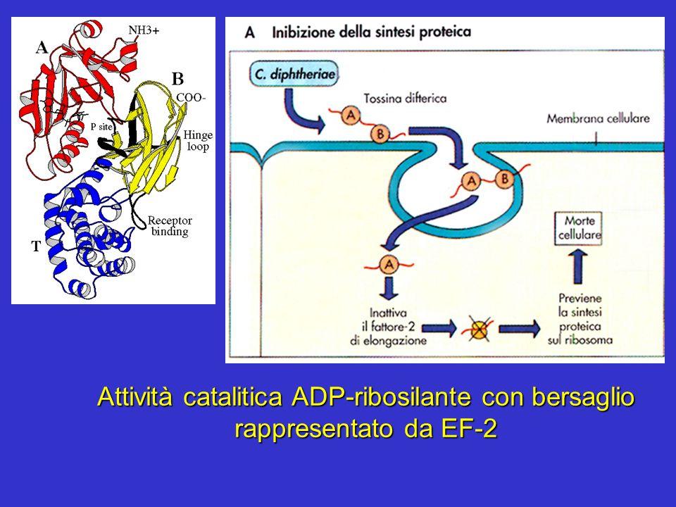 Attività catalitica ADP-ribosilante con bersaglio rappresentato da EF-2