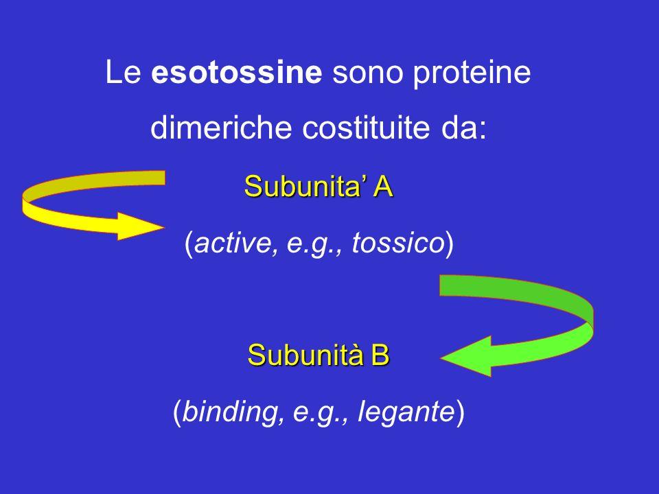 Le esotossine sono proteine dimeriche costituite da: