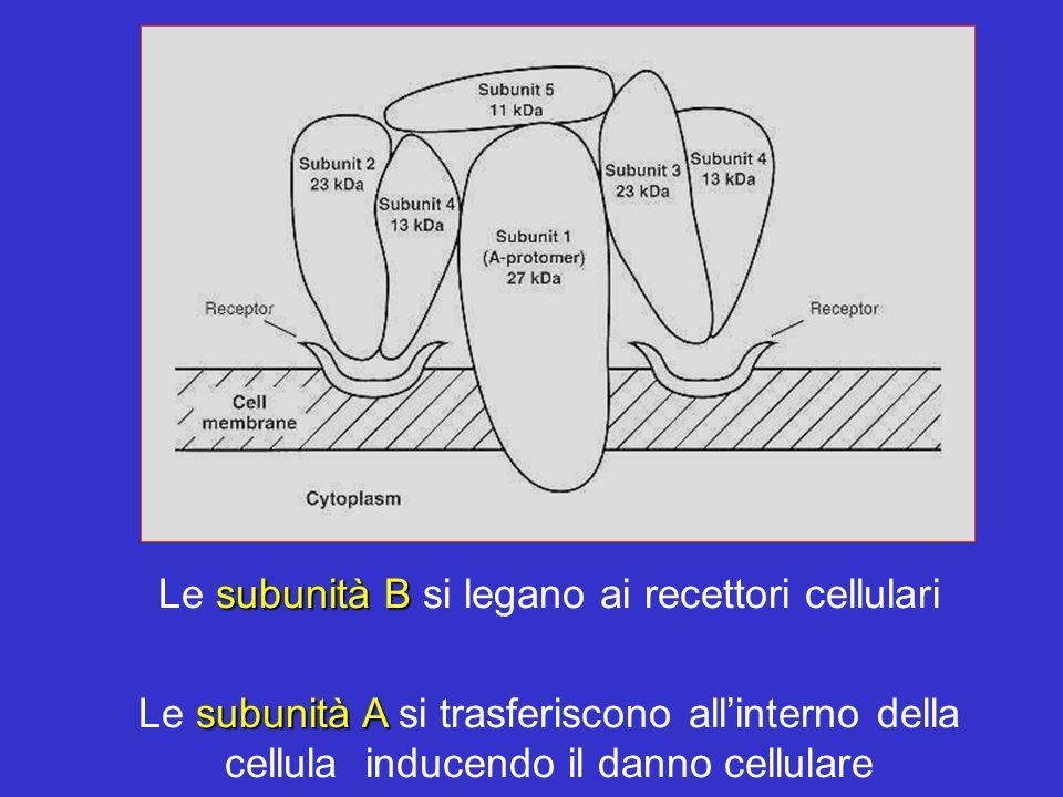 Le subunità B si legano ai recettori cellulari