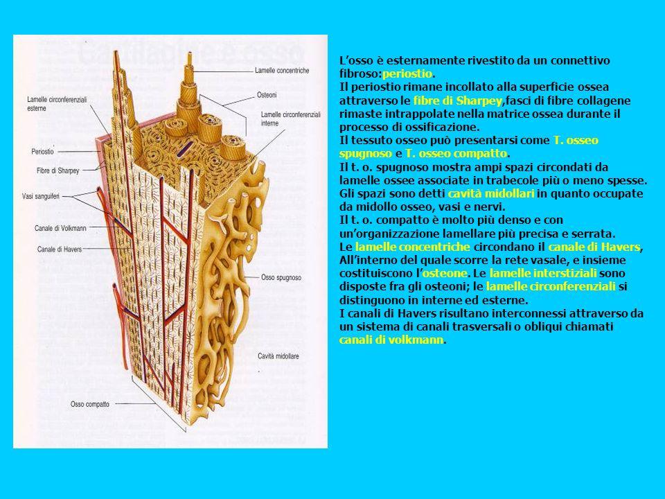 L'osso è esternamente rivestito da un connettivo fibroso:periostio.