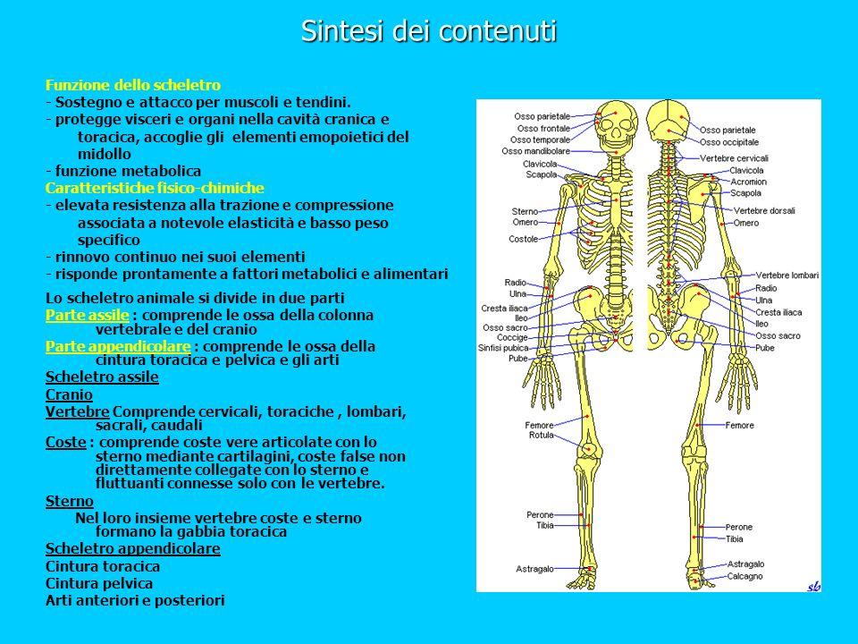 Sintesi dei contenuti Funzione dello scheletro