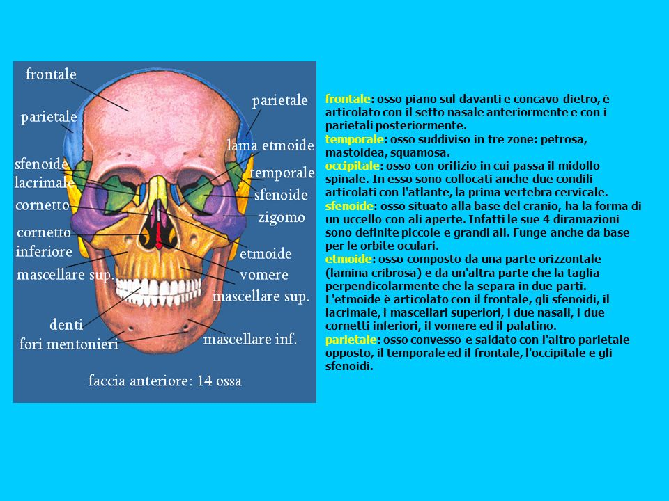 frontale: osso piano sul davanti e concavo dietro, è articolato con il setto nasale anteriormente e con i parietali posteriormente.