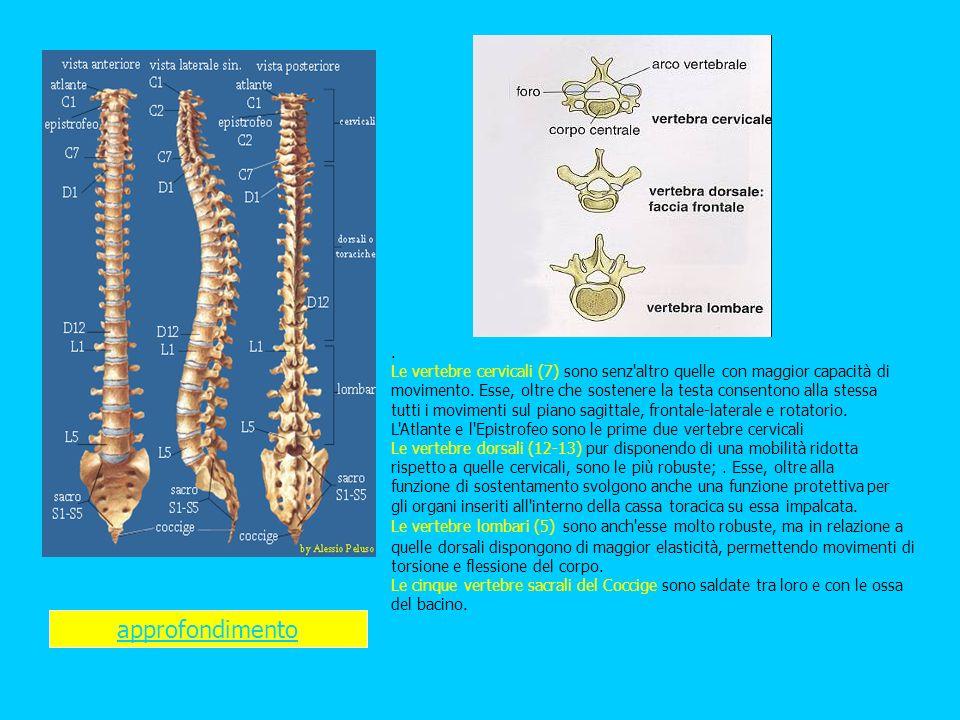 . Le vertebre cervicali (7) sono senz altro quelle con maggior capacità di movimento. Esse, oltre che sostenere la testa consentono alla stessa tutti i movimenti sul piano sagittale, frontale-laterale e rotatorio. L Atlante e l Epistrofeo sono le prime due vertebre cervicali Le vertebre dorsali (12-13) pur disponendo di una mobilità ridotta rispetto a quelle cervicali, sono le più robuste; . Esse, oltre alla funzione di sostentamento svolgono anche una funzione protettiva per gli organi inseriti all interno della cassa toracica su essa impalcata.